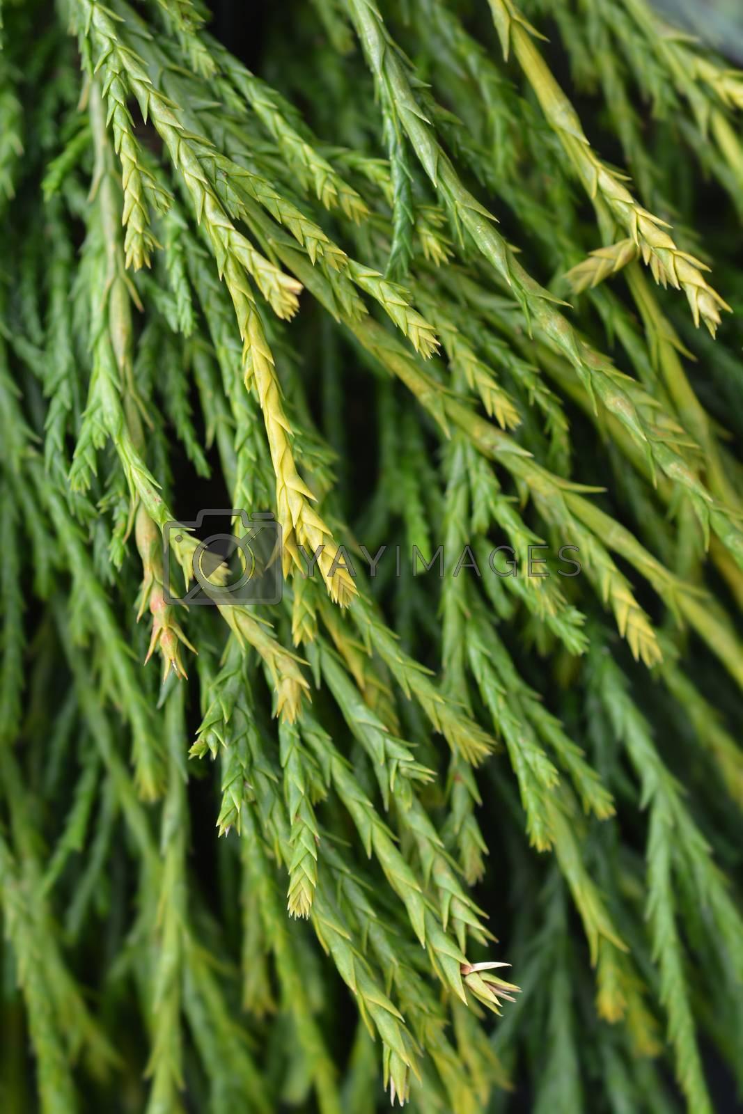 Sawara cypress Sungold by nahhan