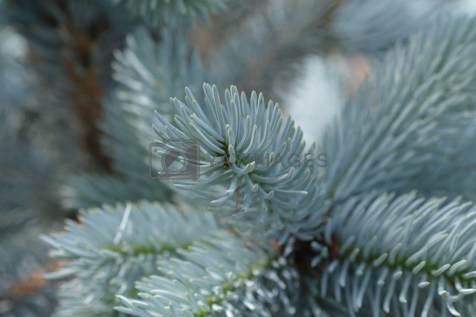 Hoops Colorado blue spruce by nahhan