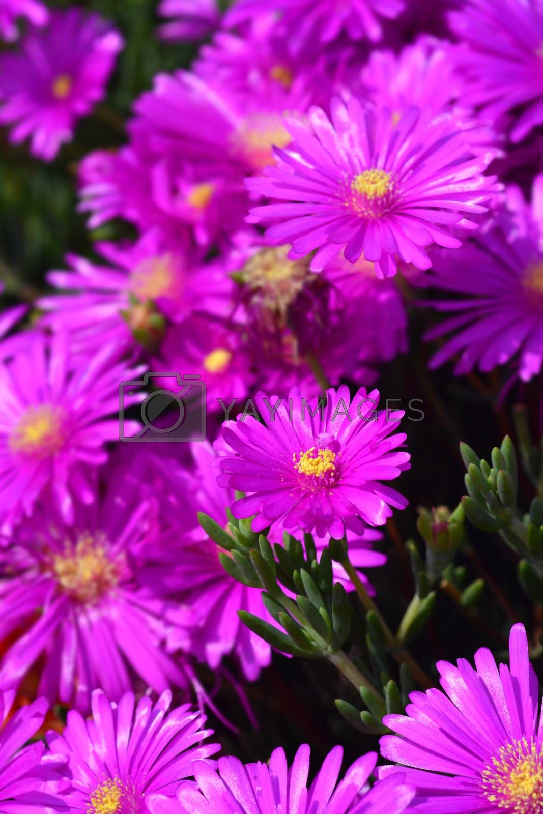 Common ice plant by nahhan
