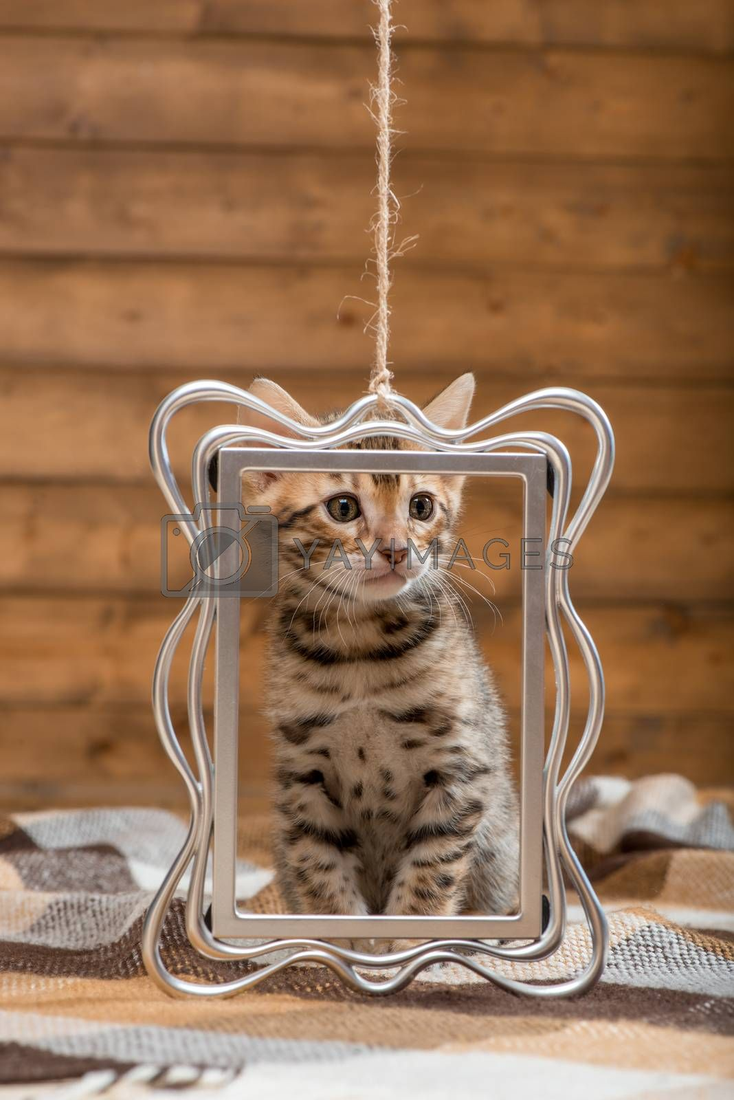 portrait of a Bengal breed kitten with a silver frame by Labunskiy K.