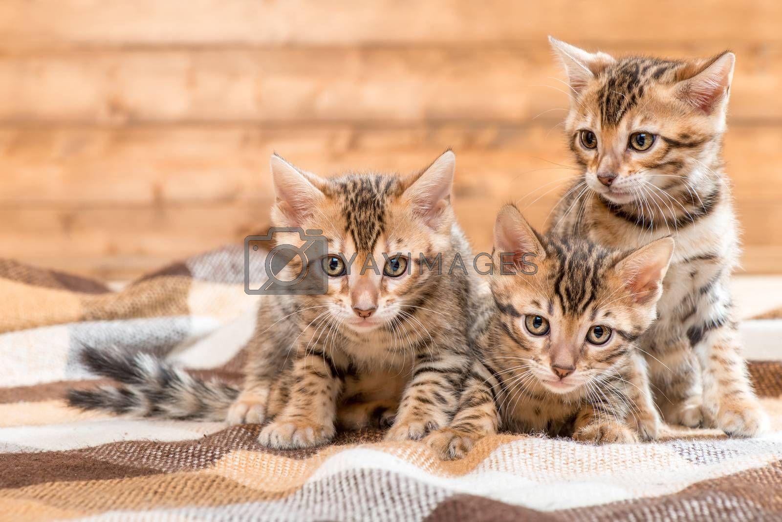 portrait of three kittens of Bengal breed on a plaid by Labunskiy K.