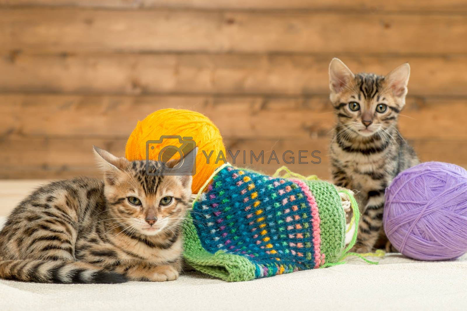 little brown striped bengal kittens with balls of thread by Labunskiy K.