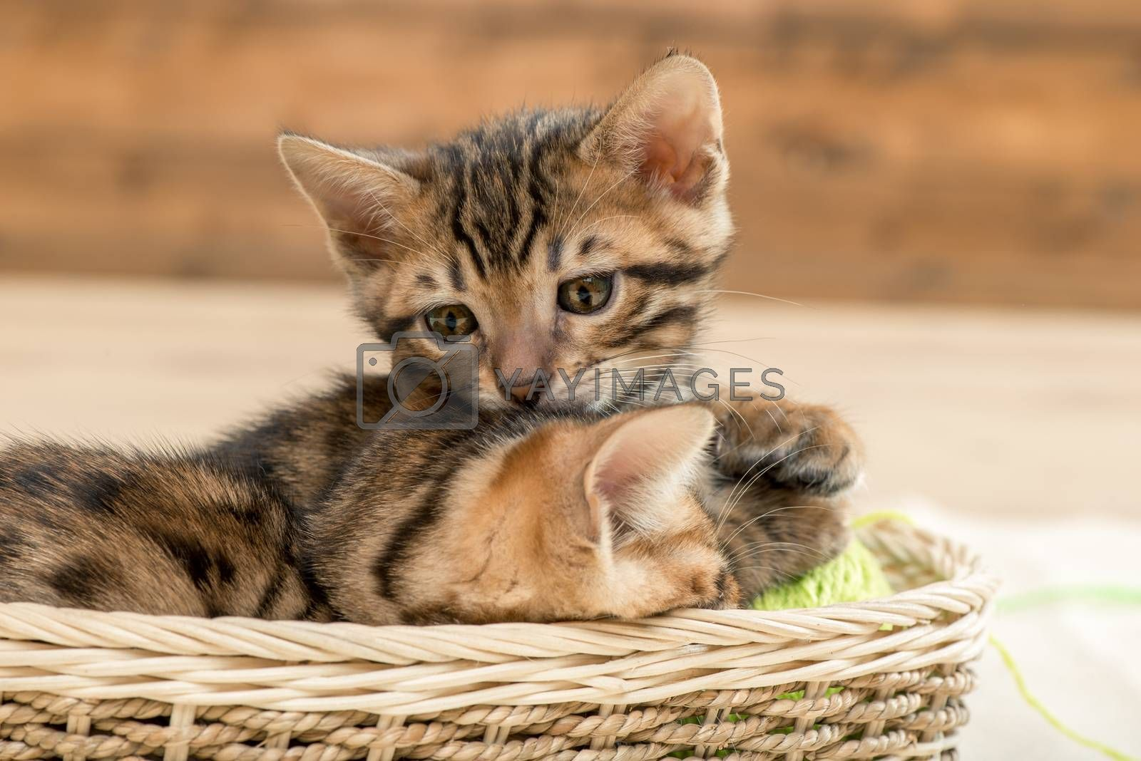 little brown striped bengal kittens in a wicker basket by Labunskiy K.