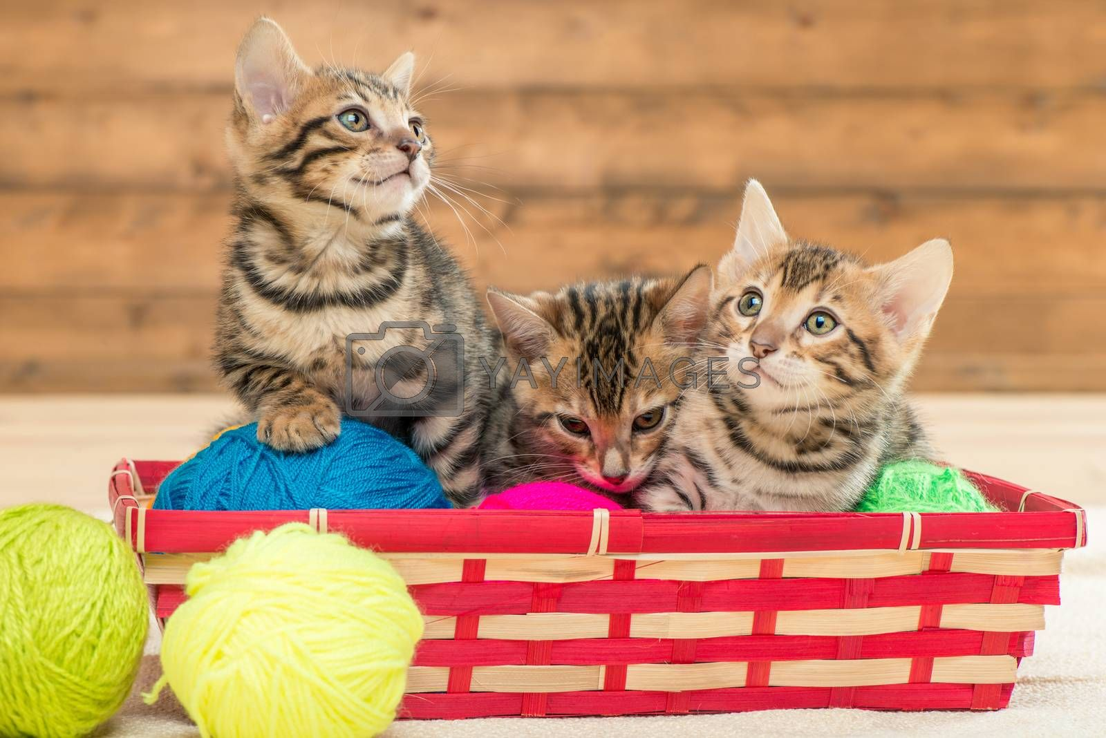 in the wicker basket sit three kittens of the Bengal breed playi by Labunskiy K.