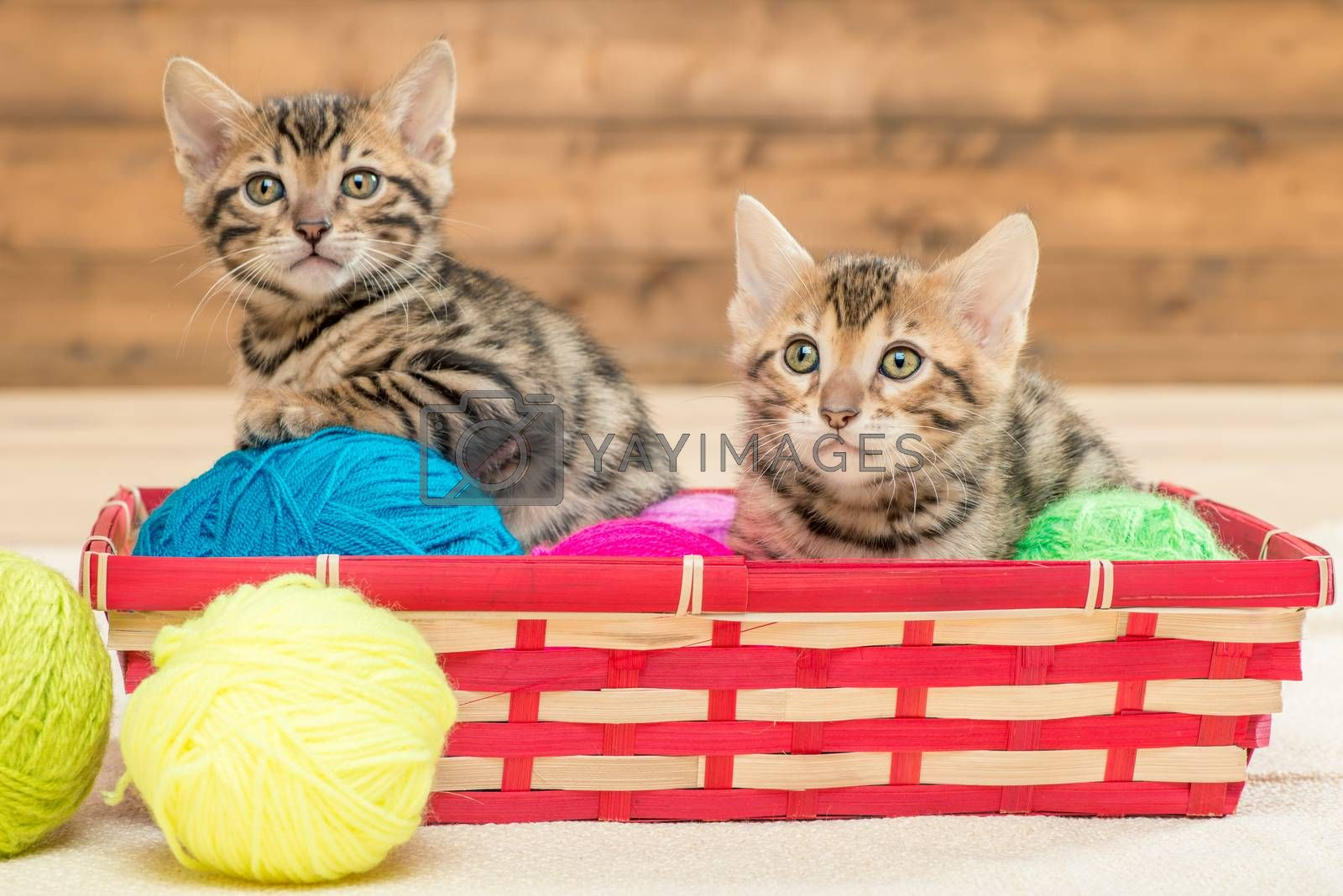 two kittens of bengali breed sit in a wicker basket, play with t by Labunskiy K.