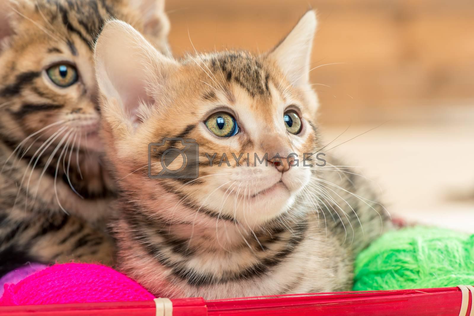 close up portrait of beautiful brown bengal kittens by Labunskiy K.