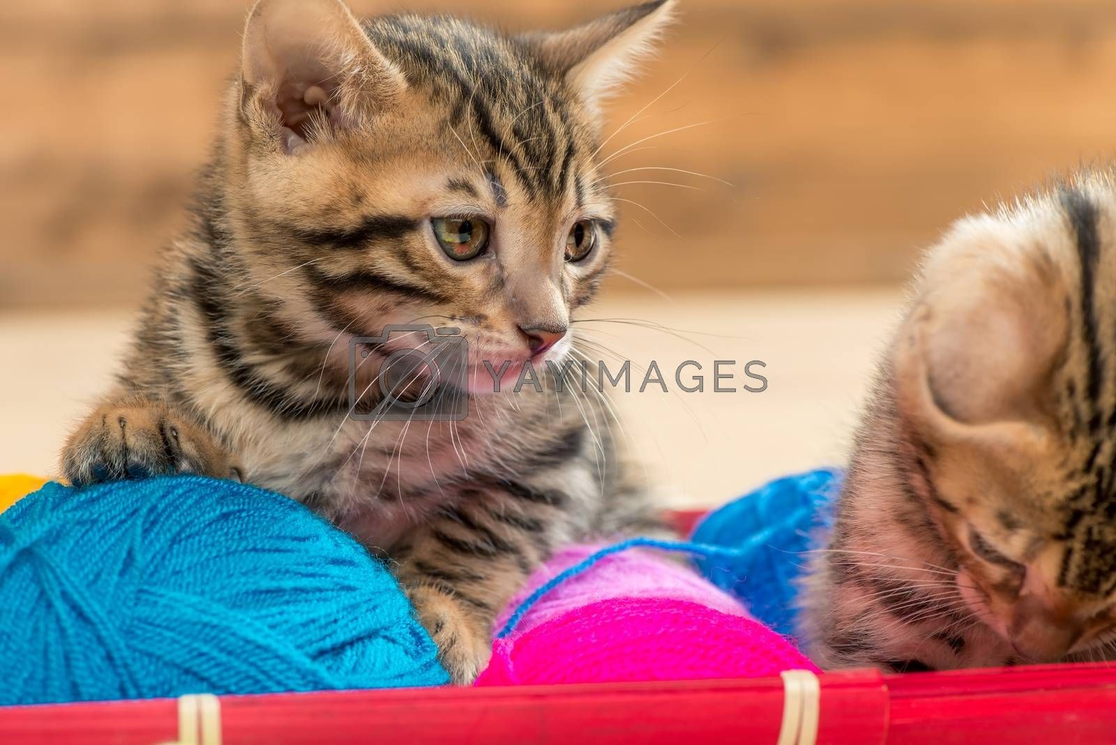 portrait of beautiful brown bengal kittens with balls of thread  by Labunskiy K.