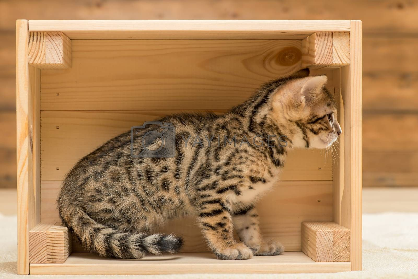 purebred bengal little kitten playing in a wooden box, closeup p by Labunskiy K.