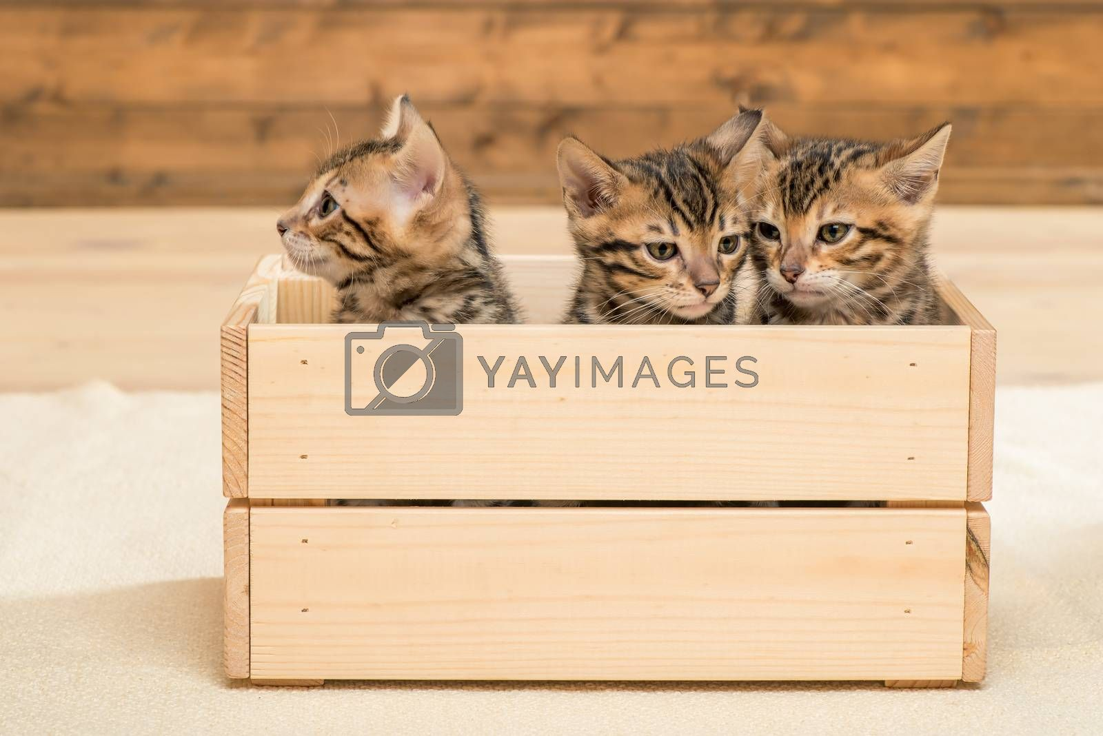 three kittens in a wooden box, closeup portrait of kittens by Labunskiy K.
