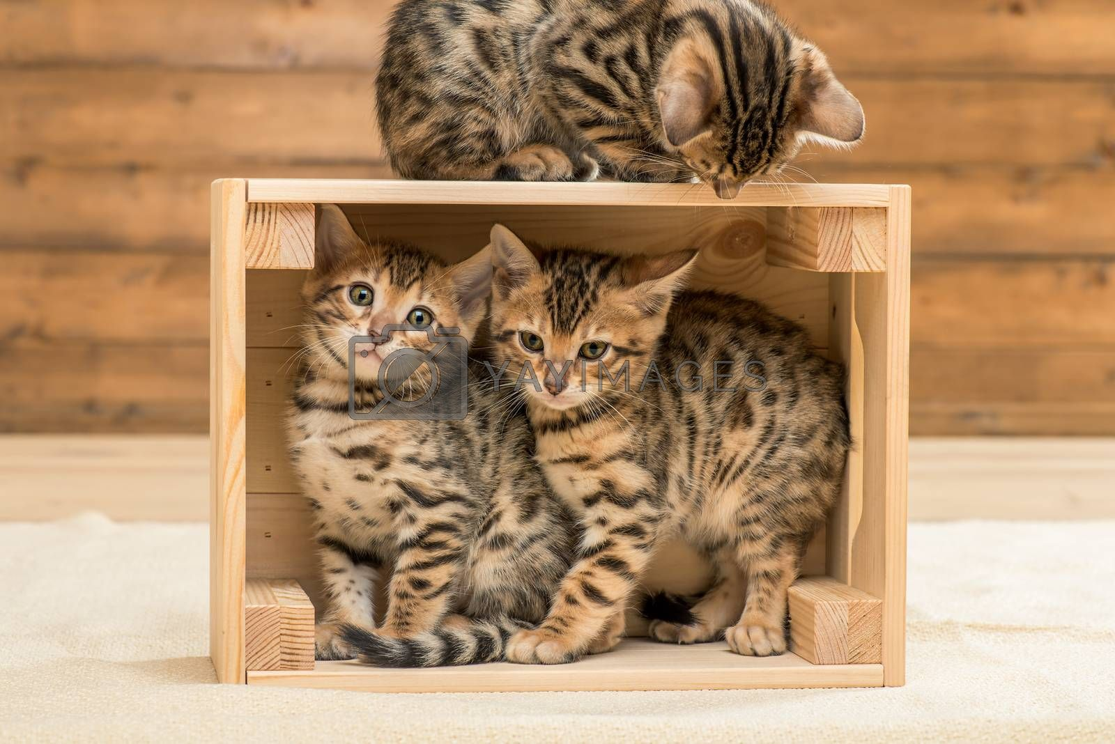 kittens playing in the wooden box, three Bengal kittens by Labunskiy K.