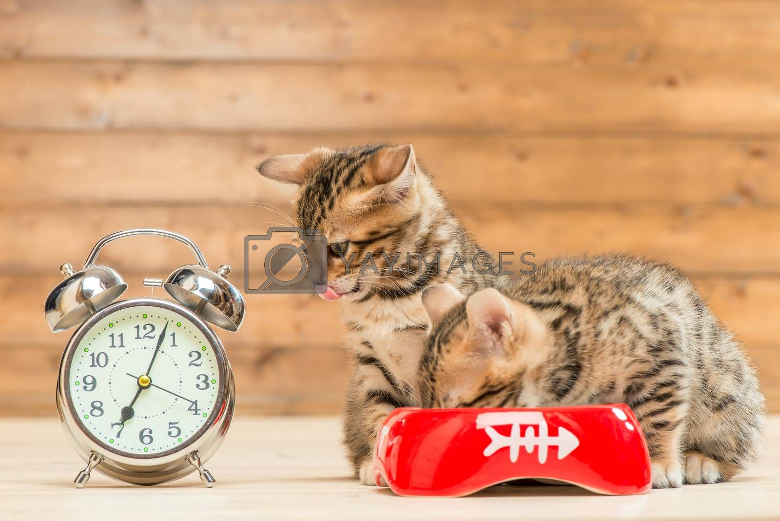 concept photo is time for breakfast, two kittens are drinking mi by Labunskiy K.