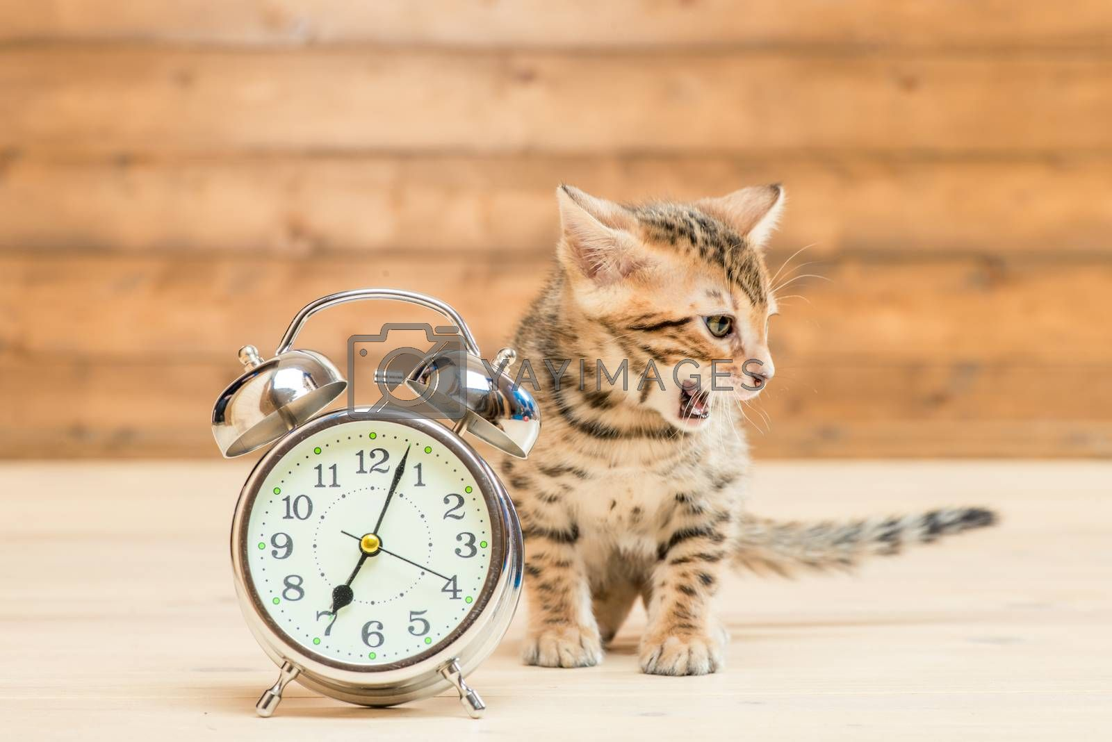 Bengal breed kitten and a retro alarm clock that shows 7 hours by Labunskiy K.