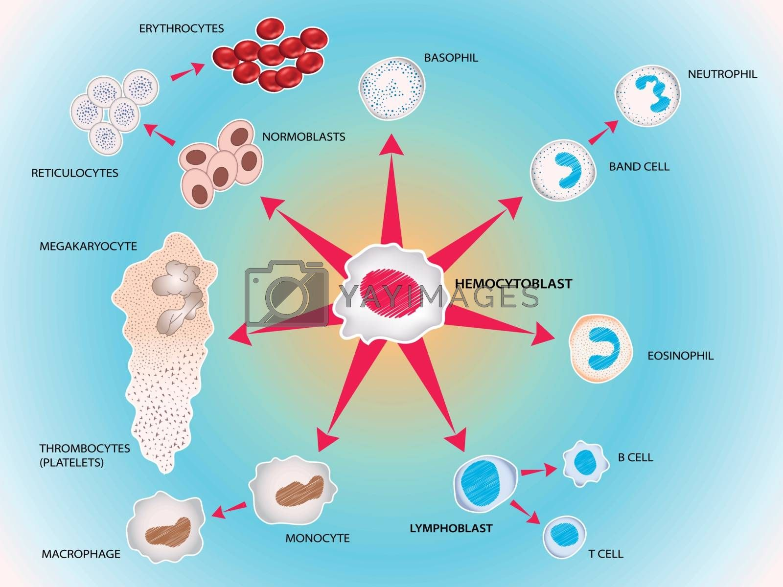 All blood cells manufactured by stem cells, forming the blood system. Vector medical illustration