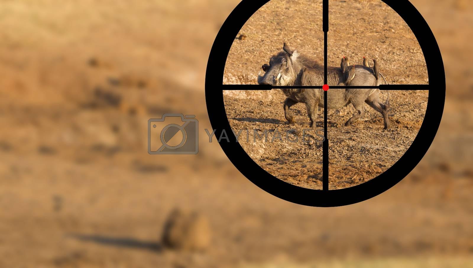 Hunting warthog in Botswana by michaklootwijk