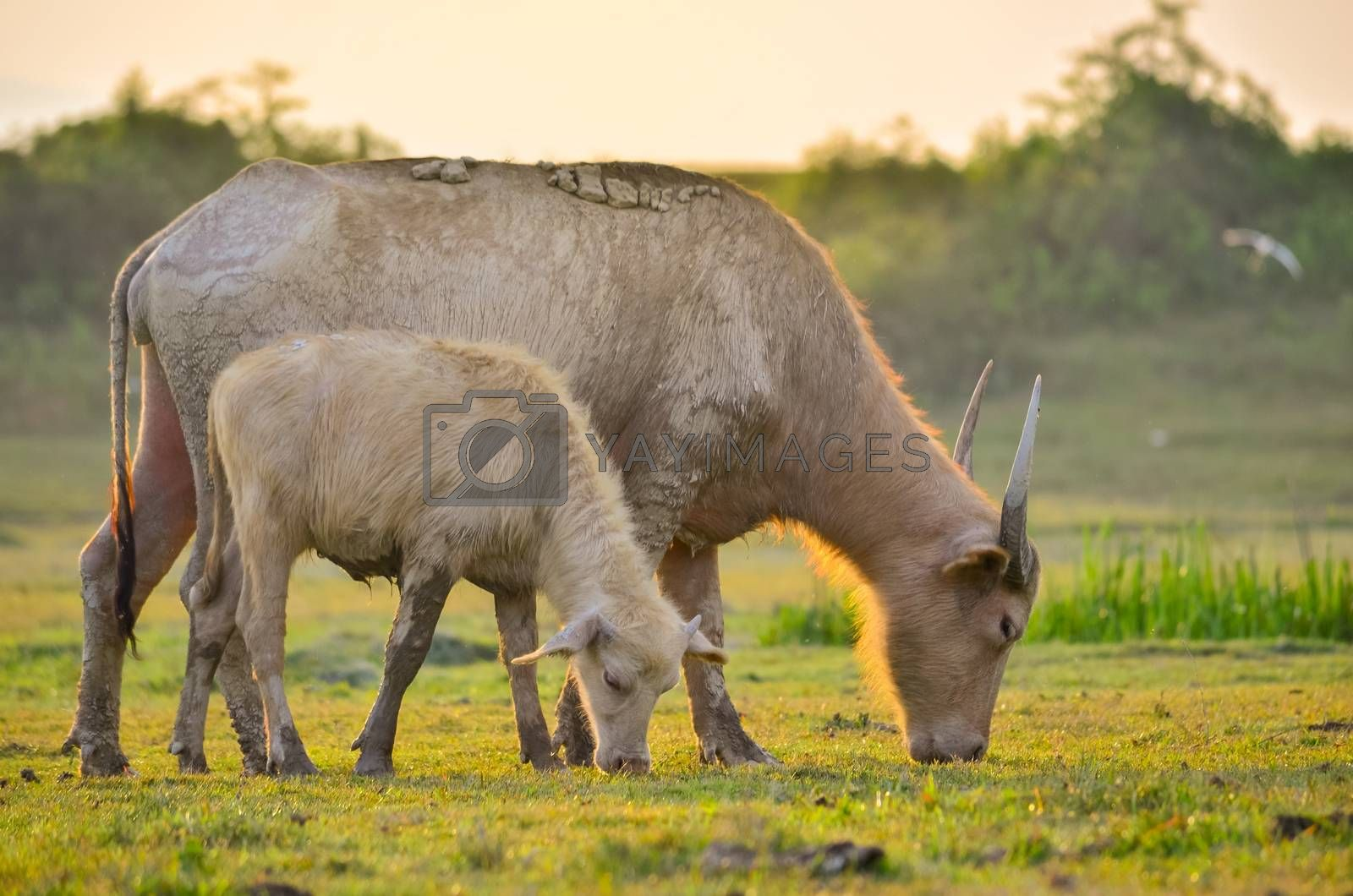 buffalo Golden light Meadow Buffalo herd by Sarayut