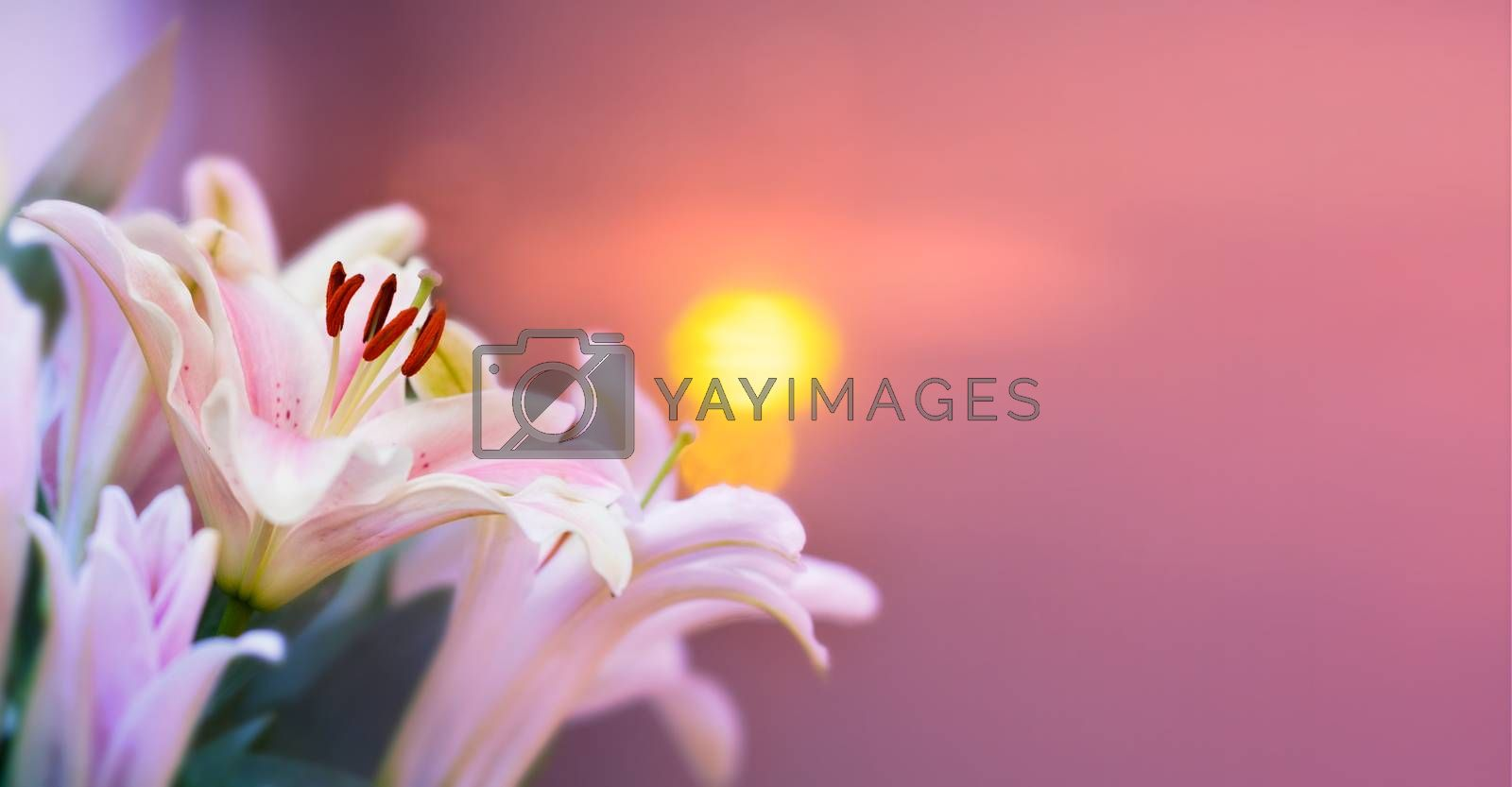 Pink lilly in the garden and tone color pink,Lilly flowers (shallow dof) Natural Banner by Sarayut