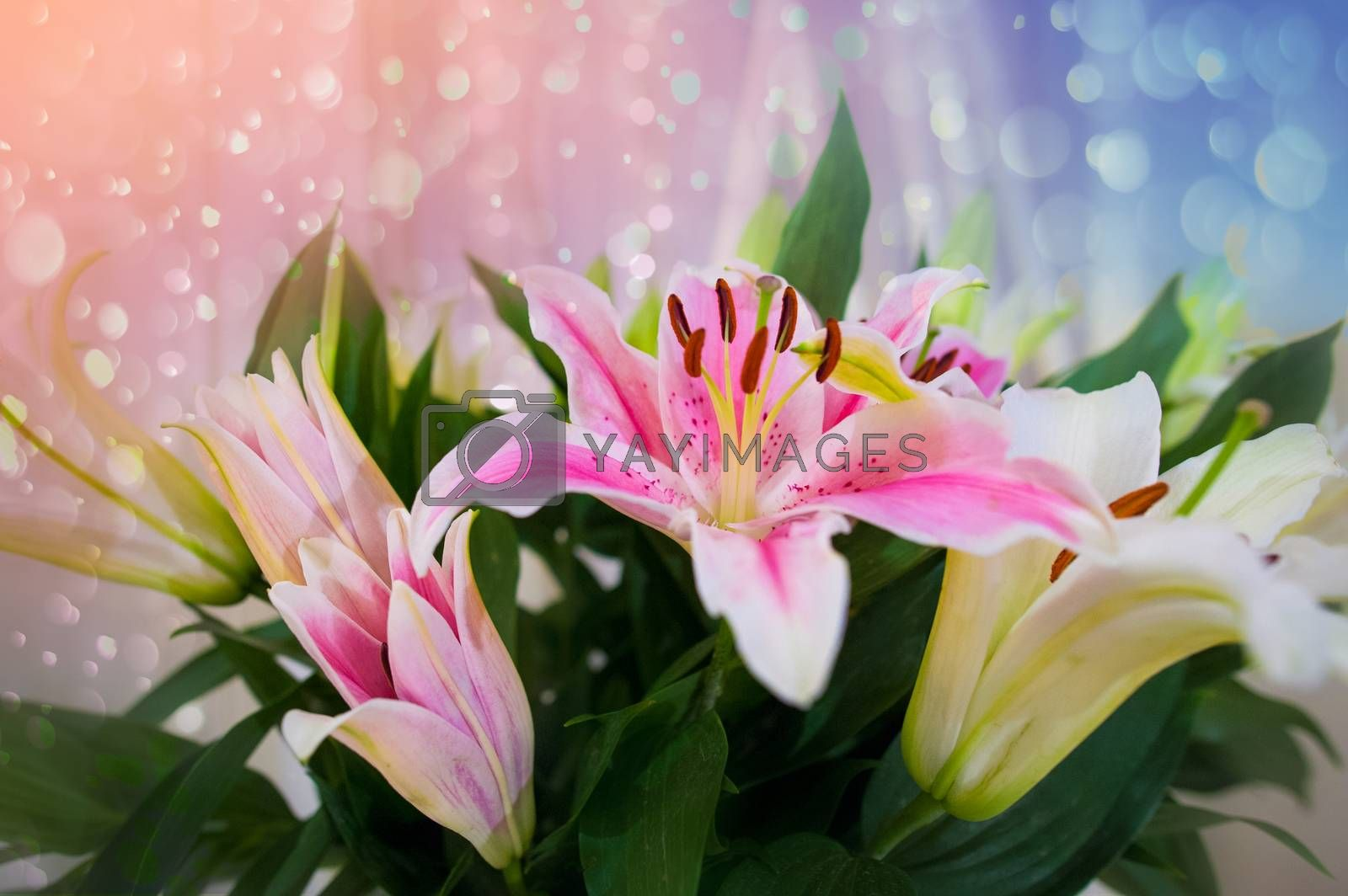 Pink lilly in the garden and tone color pink,Lilly flowers (shallow dof) Natural by Sarayut