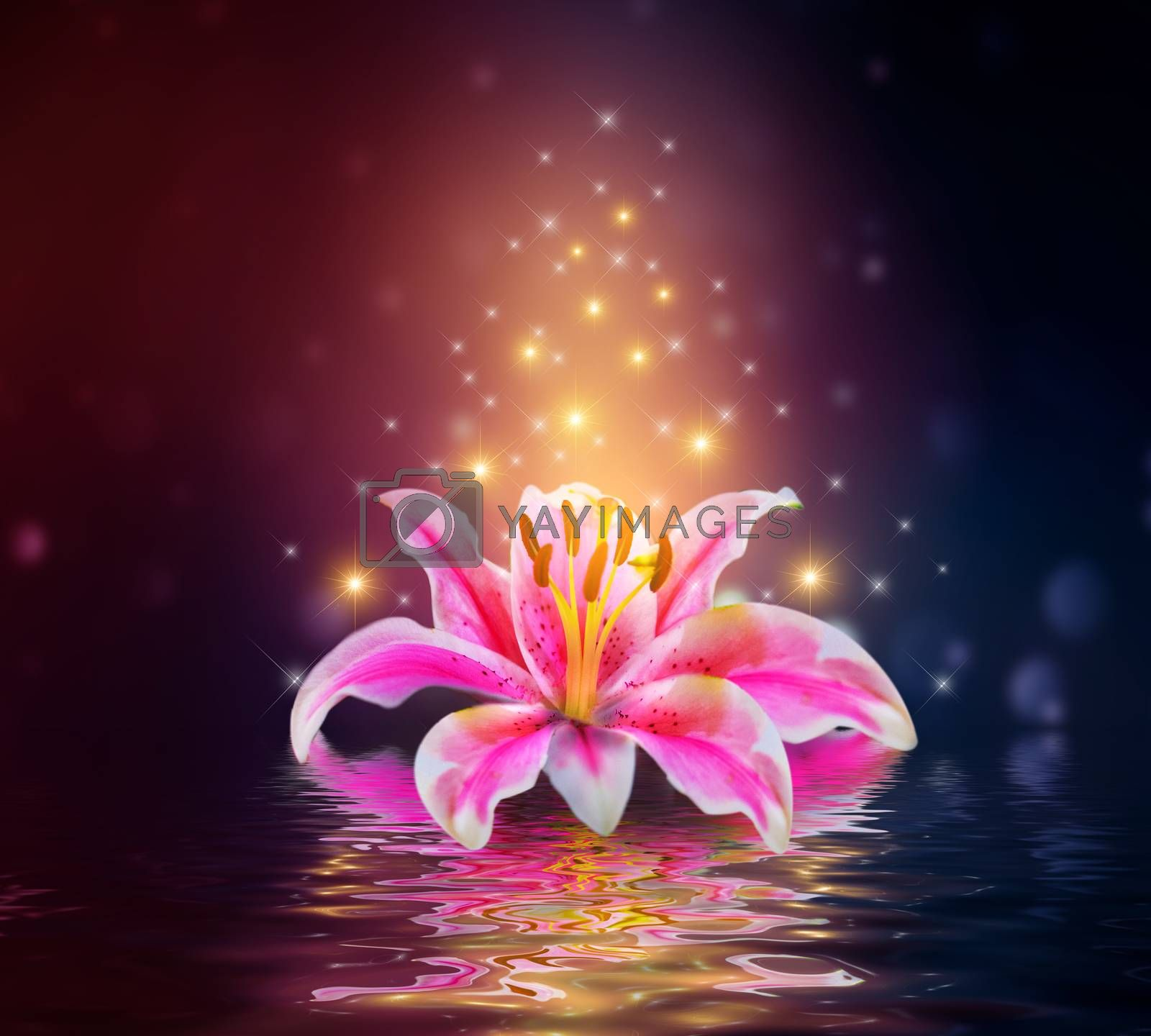 Pink Lilies flower on water reflection by Sarayut