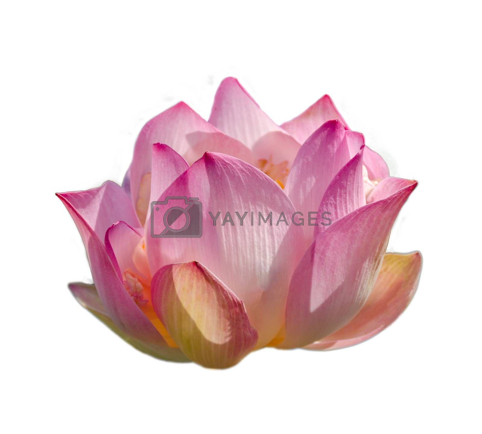 lotus Pink Isolate White flowers bloom by Sarayut
