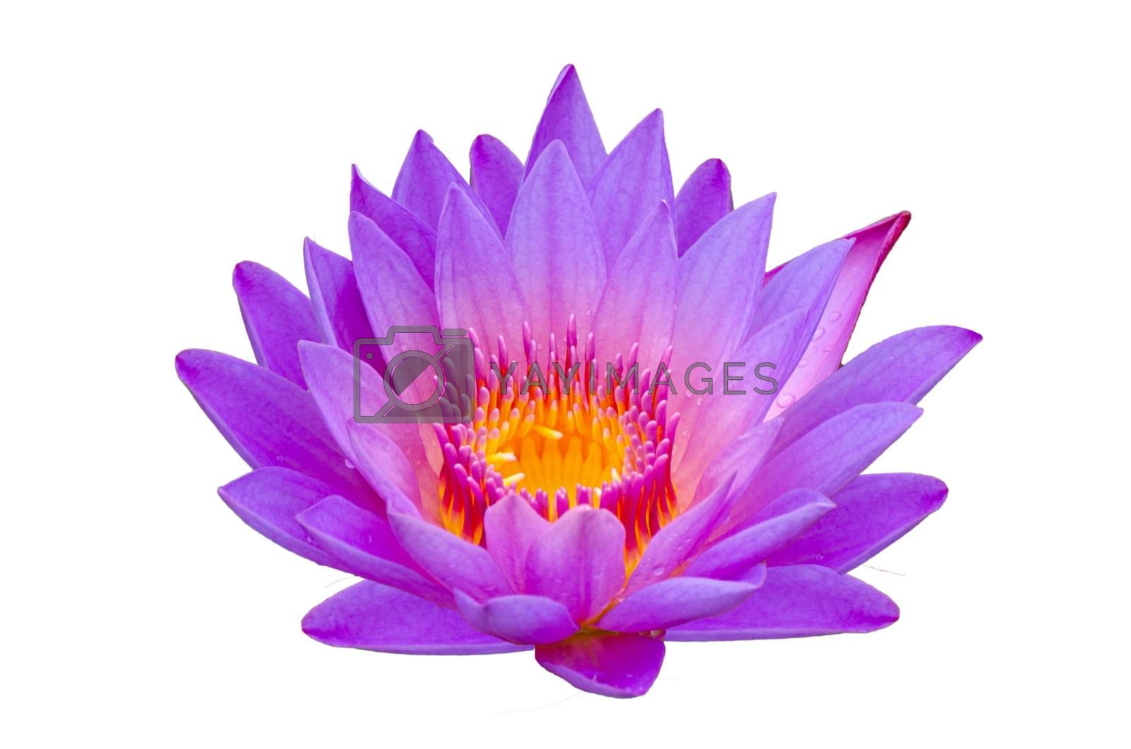 lotus purple Isolate lotus Beautifully bloomed in yellow pollen by Sarayut