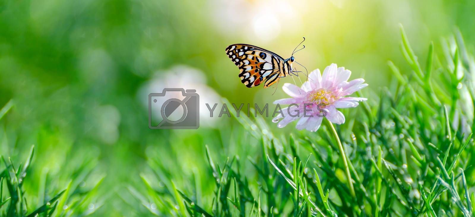 The yellow orange butterfly is on the white pink flowers in the green grass fields by Sarayut