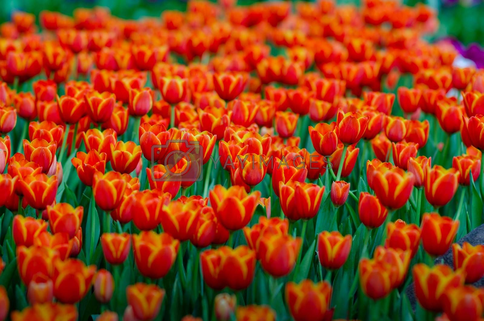The red yellow tulip fields are densely blooming by Sarayut