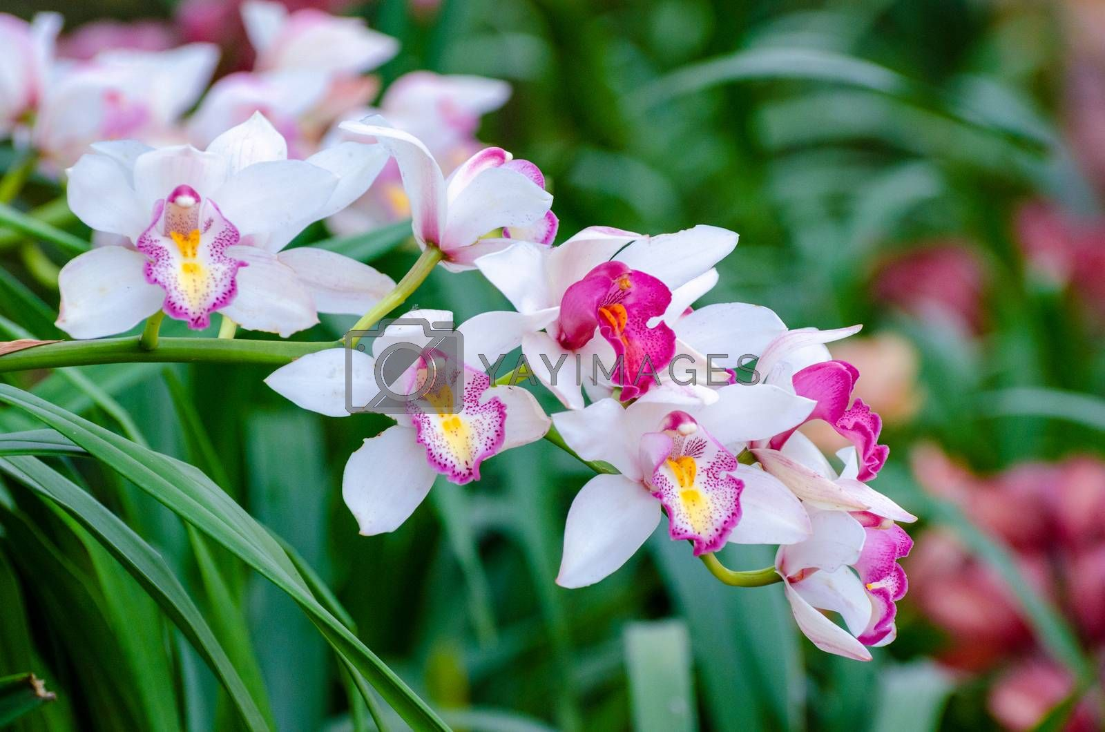cymbidium sp Pink and white orchid flowers by Sarayut