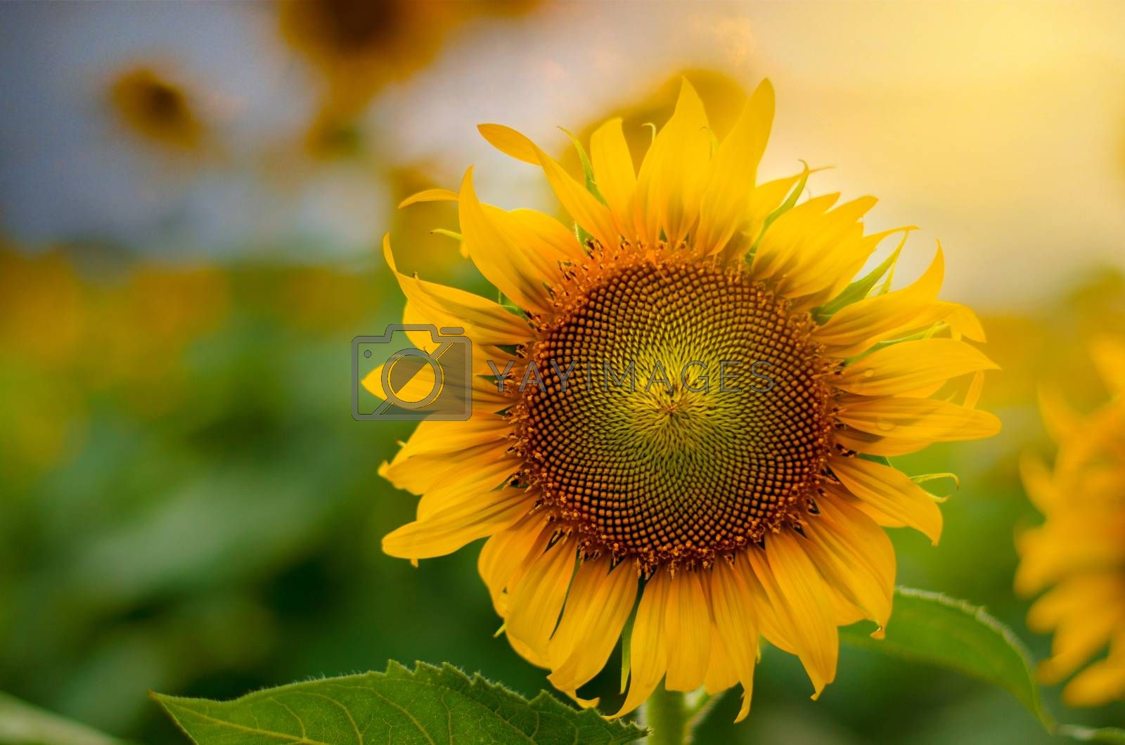 Sunflowers full bloom and light in the morning. by Sarayut