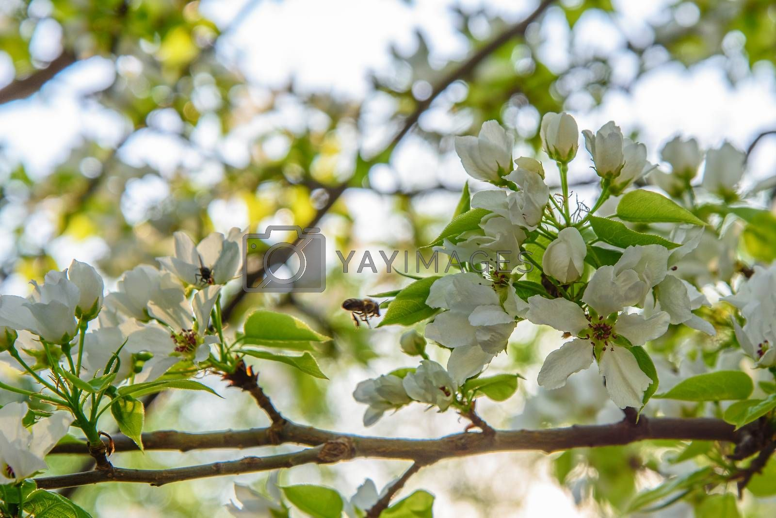 Apple branch with white flowers by VladimirZubkov