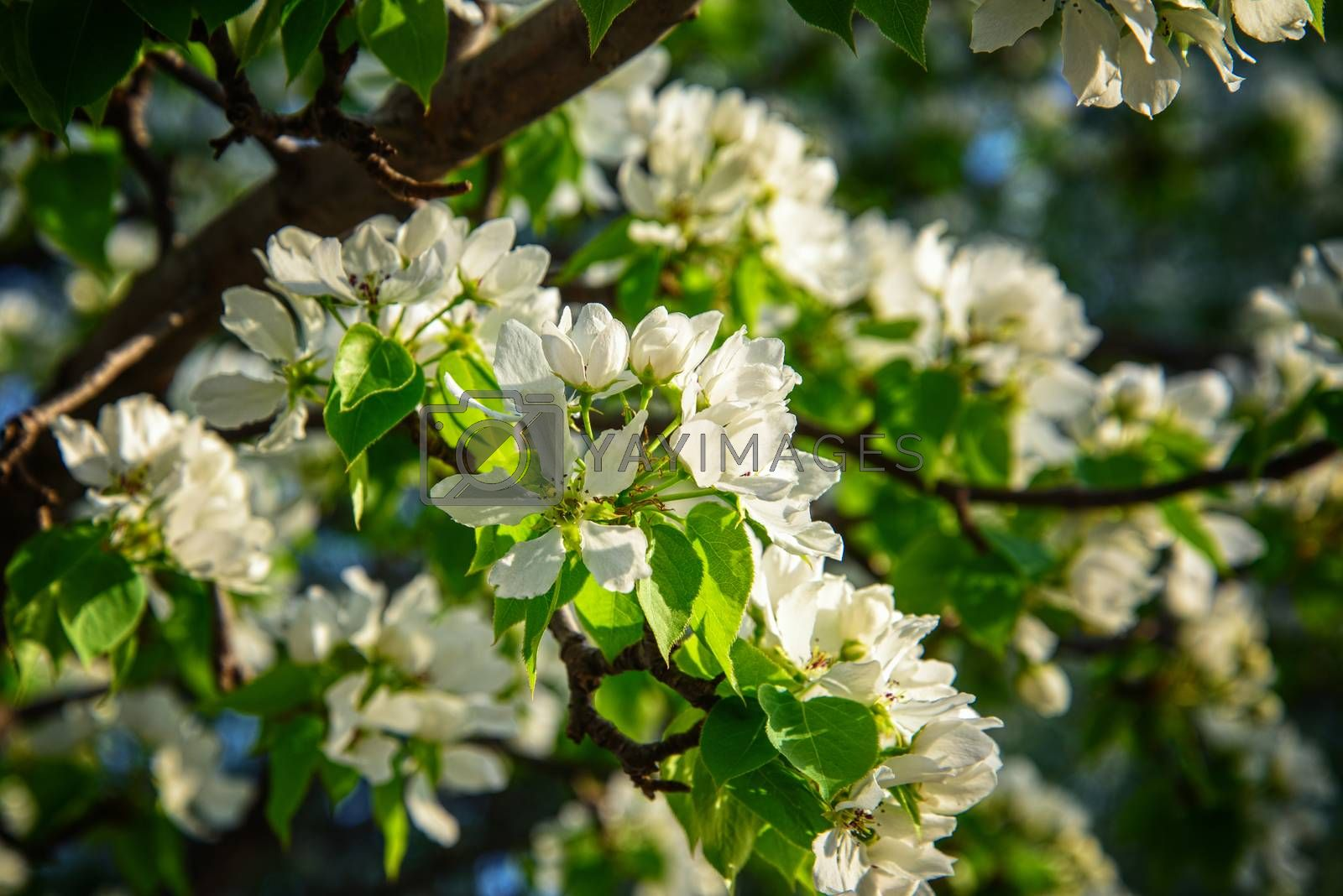 Apple branch with white flowers by VladimirZubkov