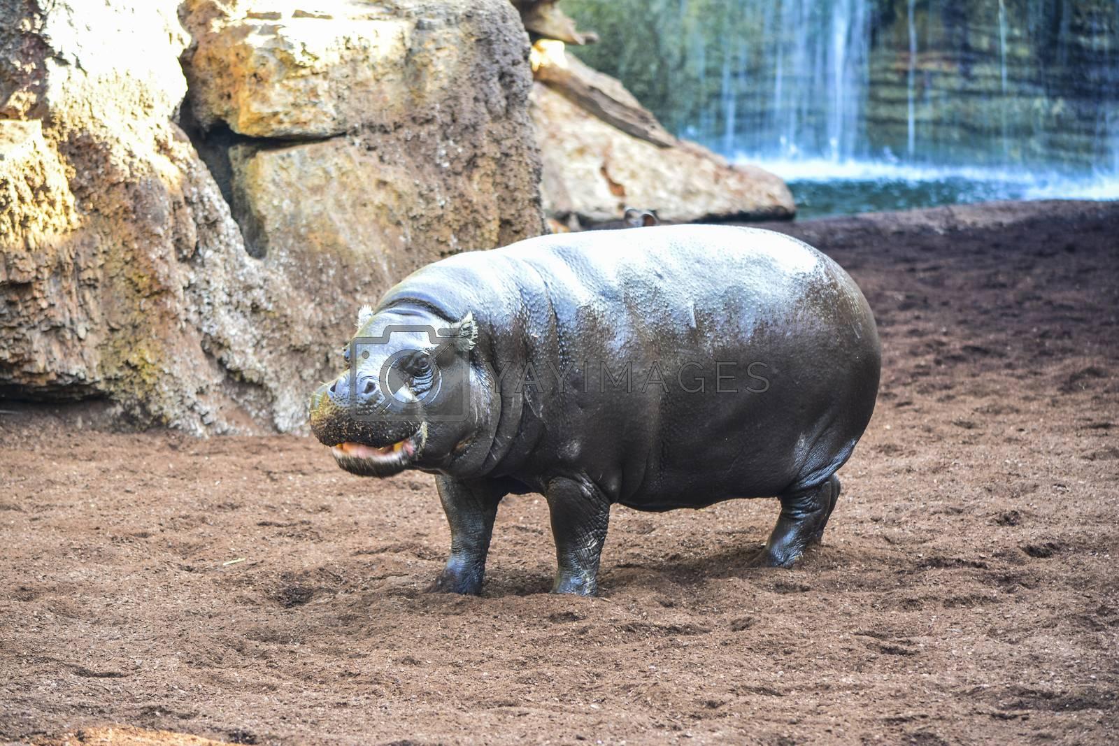young hippopotamus portrait by Prf_photo