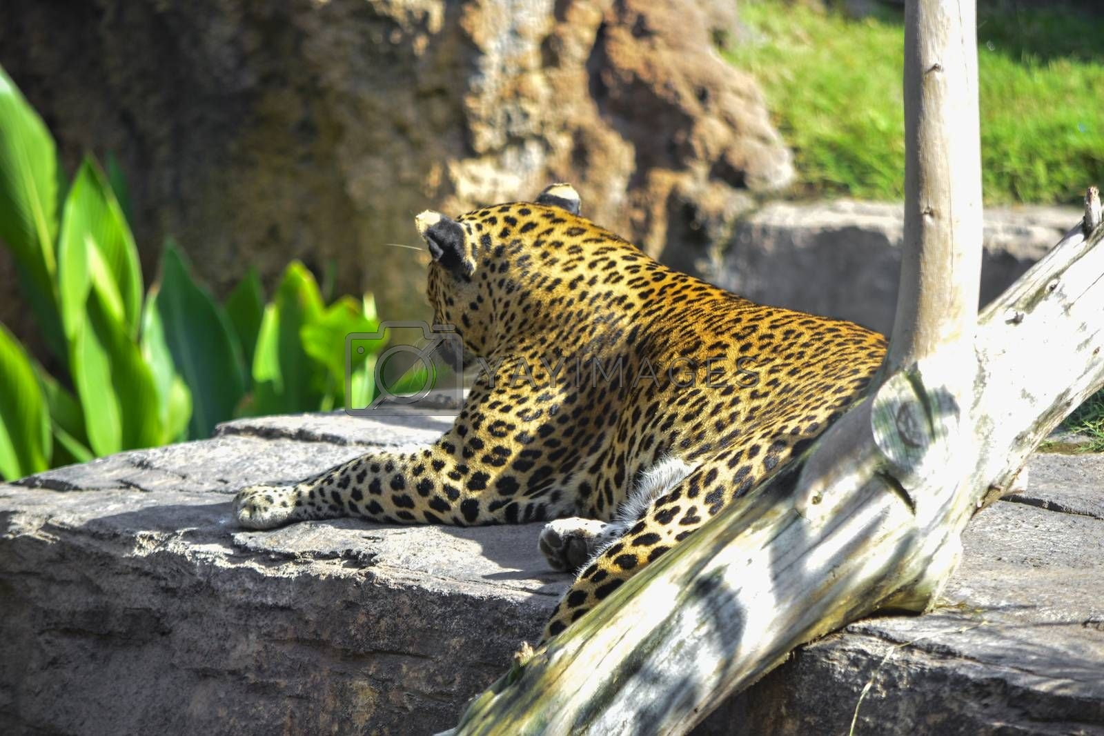 leopard watching from a rock by Prf_photo