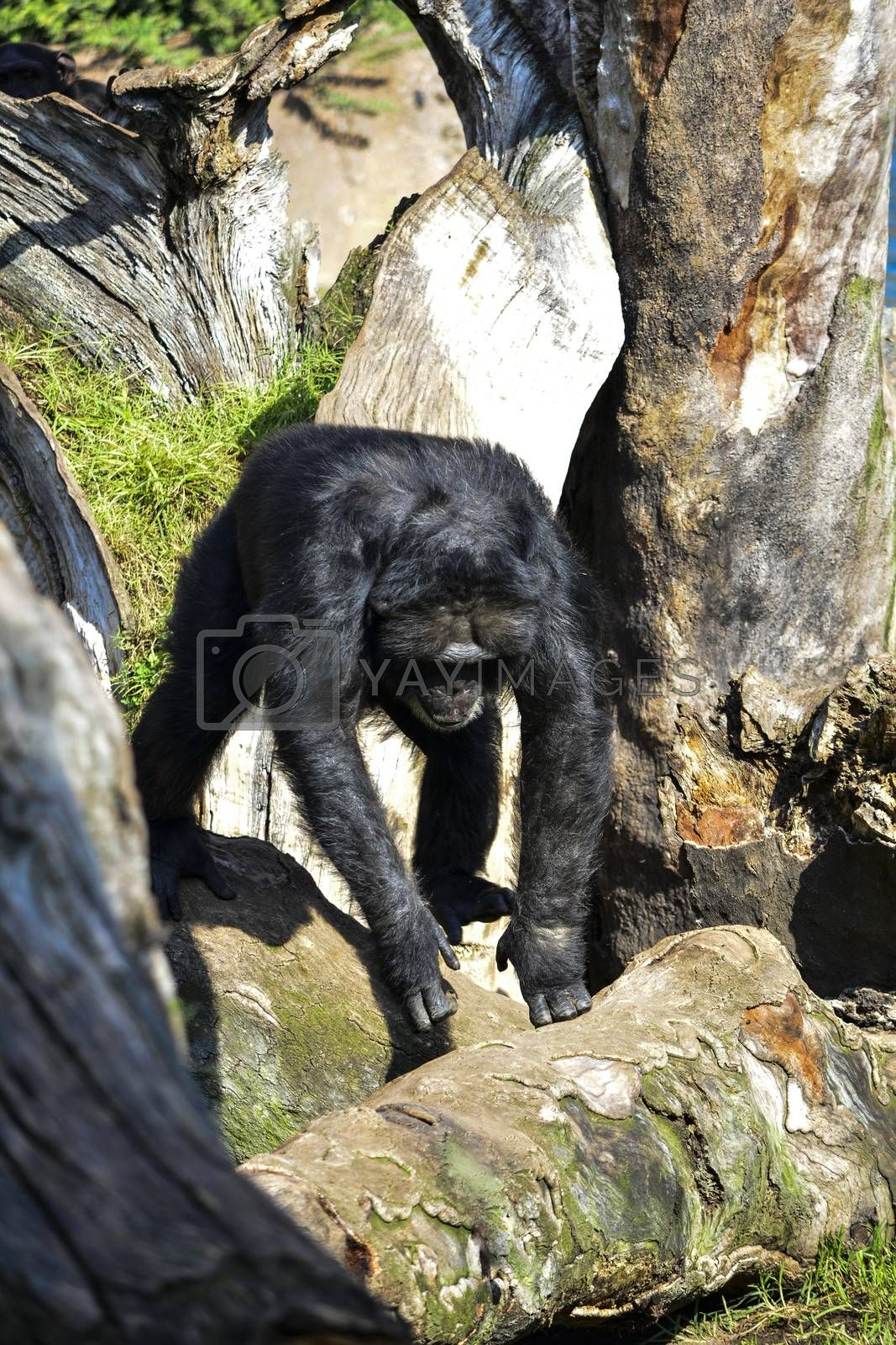 gorilla looking for food by Prf_photo