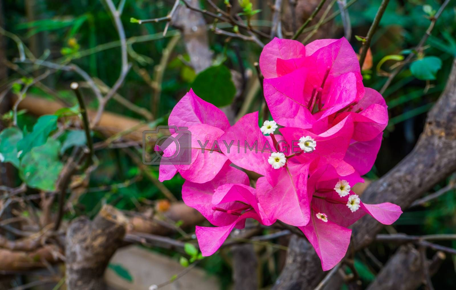 pink bougainvillea flowers on a tree branch in macro closeup, popular tropical garden plant, nature background by charlotte Bleijenberg
