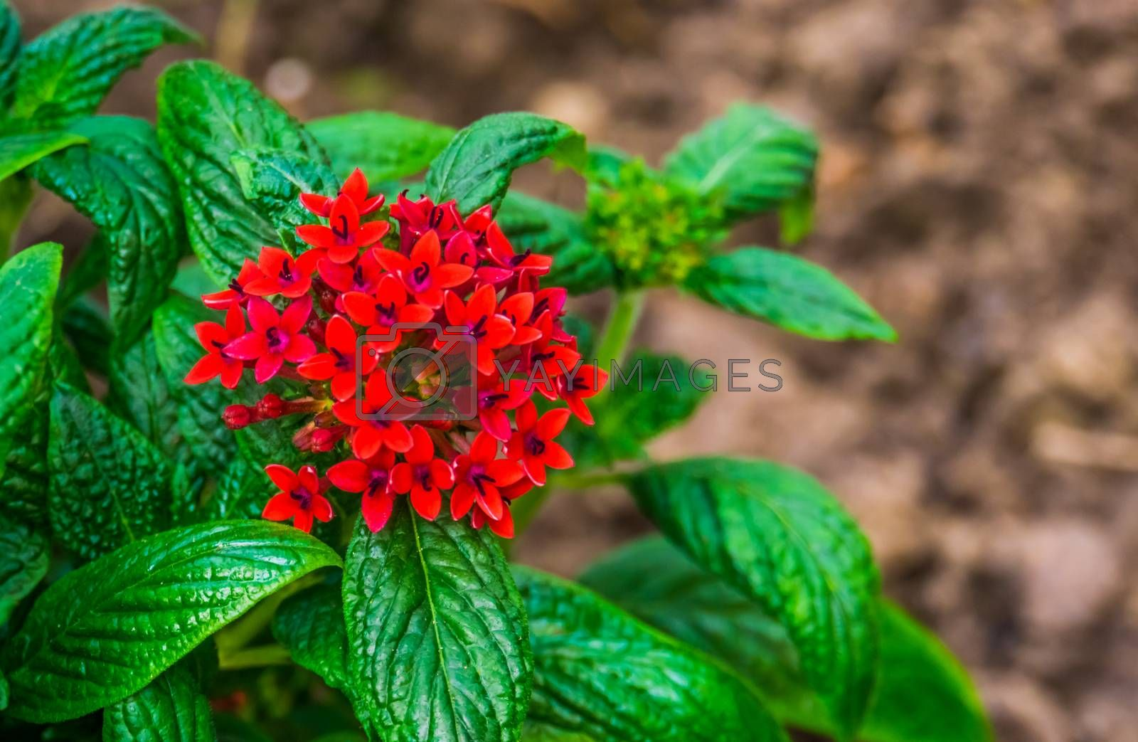 macro closeup of red clustered flowers on a pentas plant, popular tropical plant from Africa, ornamental flowering garden plants, nature background by charlotte Bleijenberg