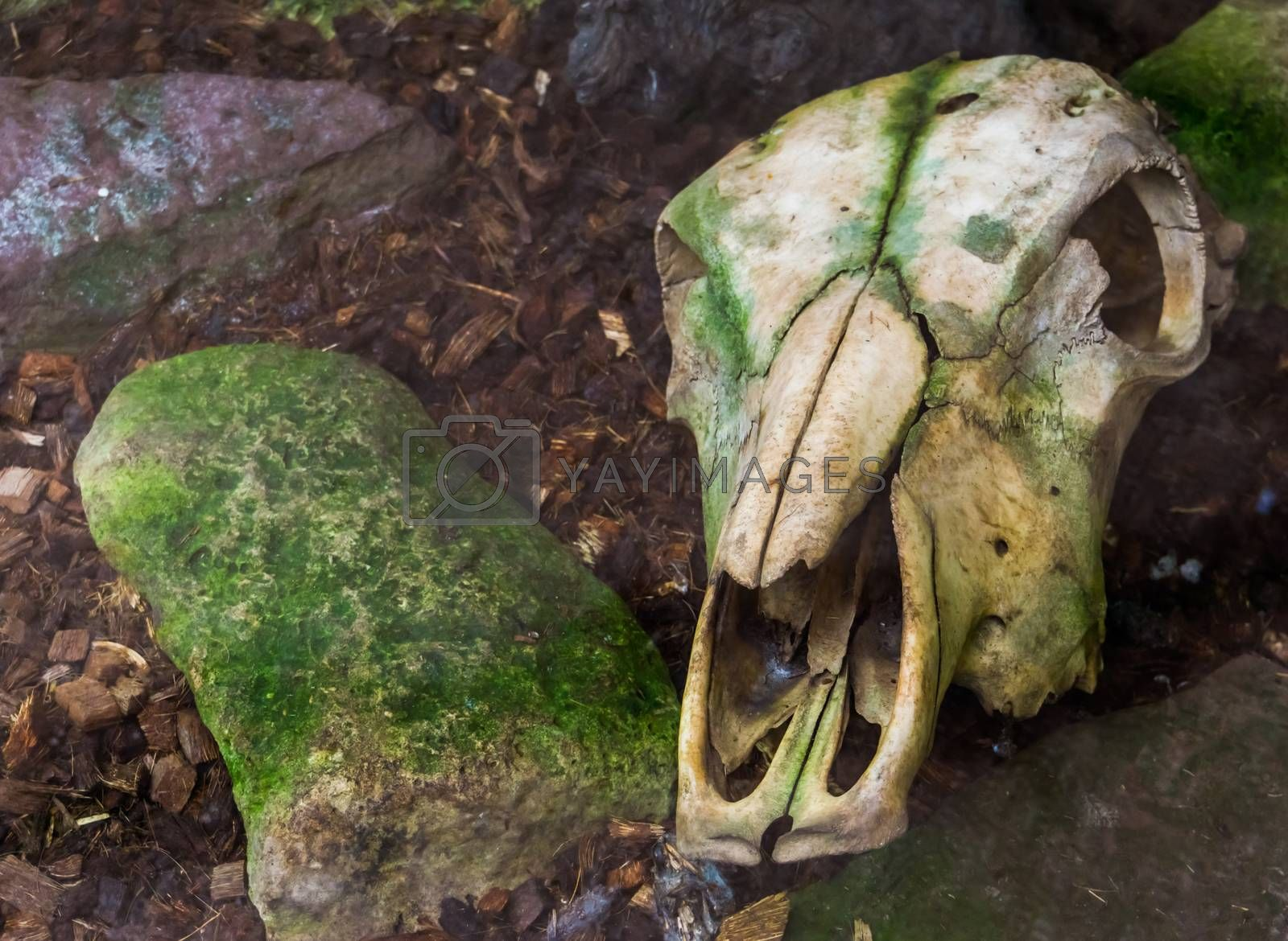 Weathered cow skull laying on the ground, creepy halloween decorations by charlotte Bleijenberg