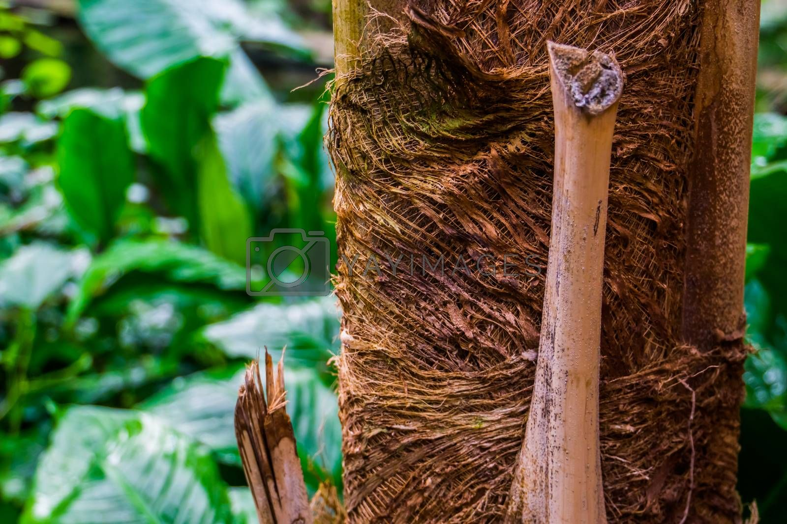 macro closeup of a palm tree trunk, tropical nature background, popular garden plants and trees by charlotte Bleijenberg