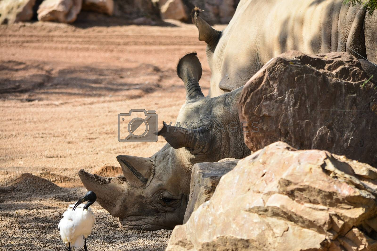 reinoceronte Ceratotherium simum simum by Prf_photo