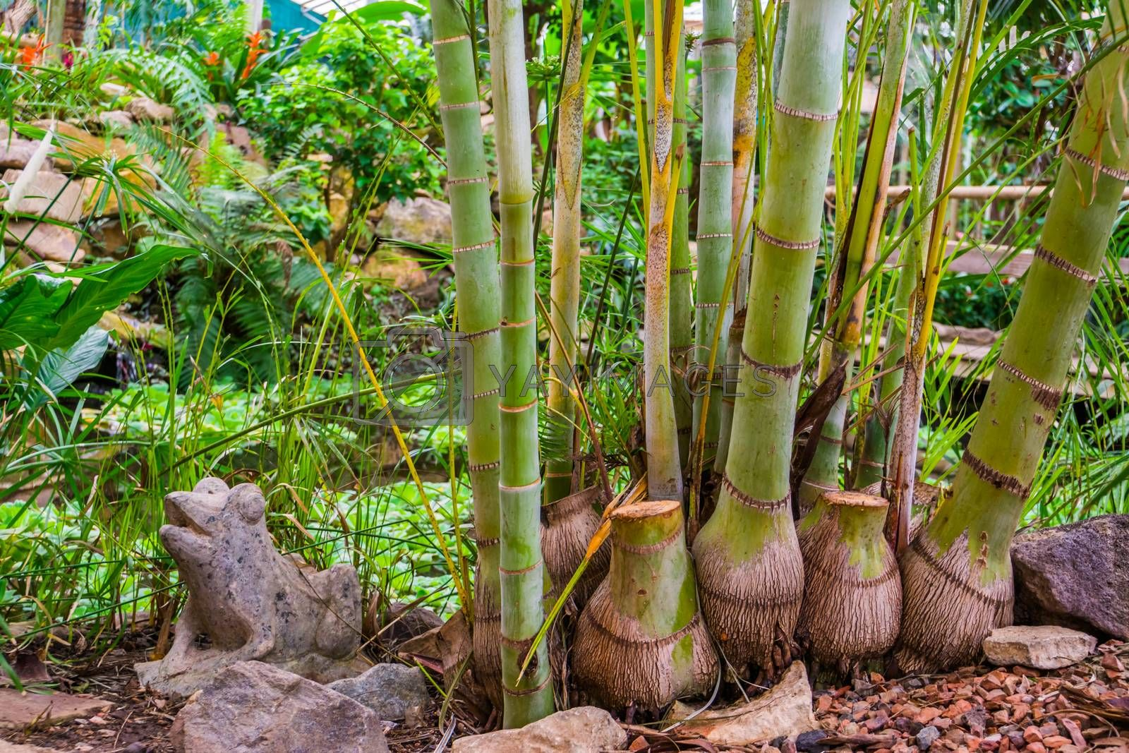 bamboo trunks of a giant bamboo specie, popular tropical plants and trees for the garden by charlotte Bleijenberg