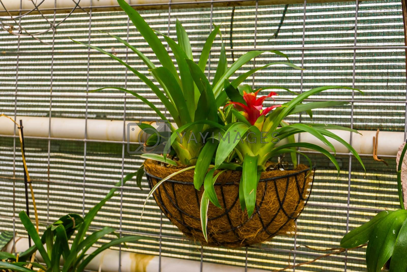 red tufted air plant in a flower basket, popular tropical decorative plant from America by charlotte Bleijenberg