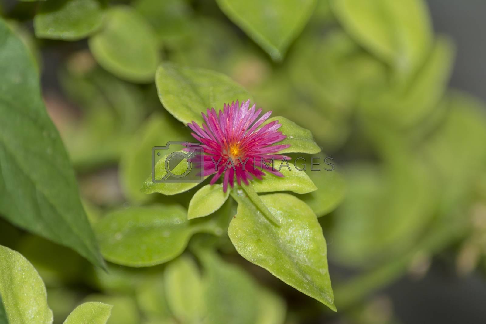aptenia cordifolia in alicante spain by Prf_photo