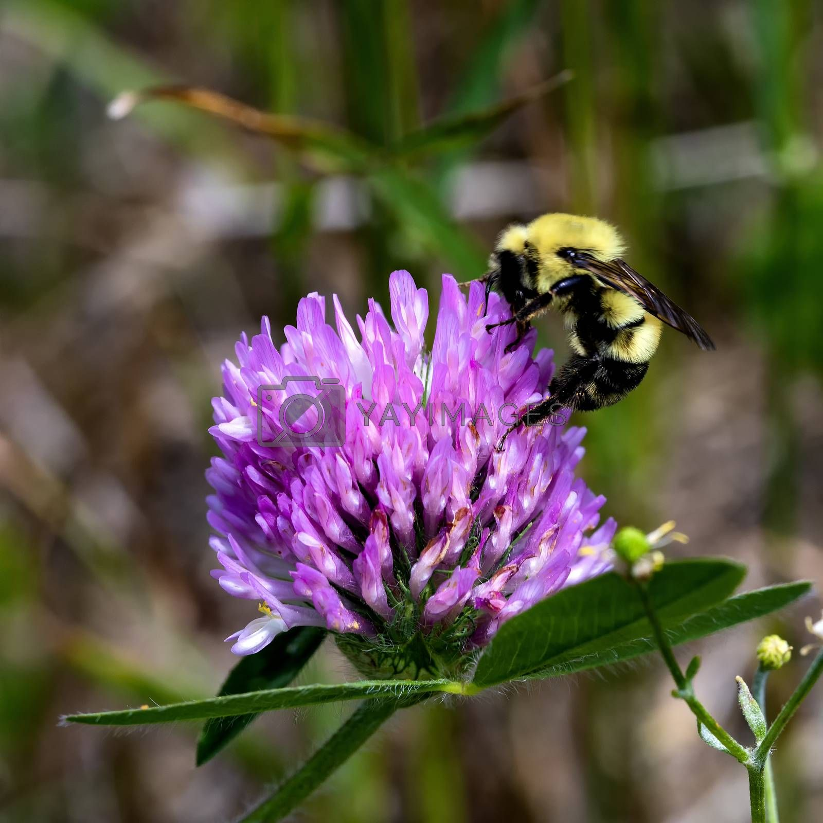 Honey Bee Feeds on Red Clover Bloom by Charlie Floyd