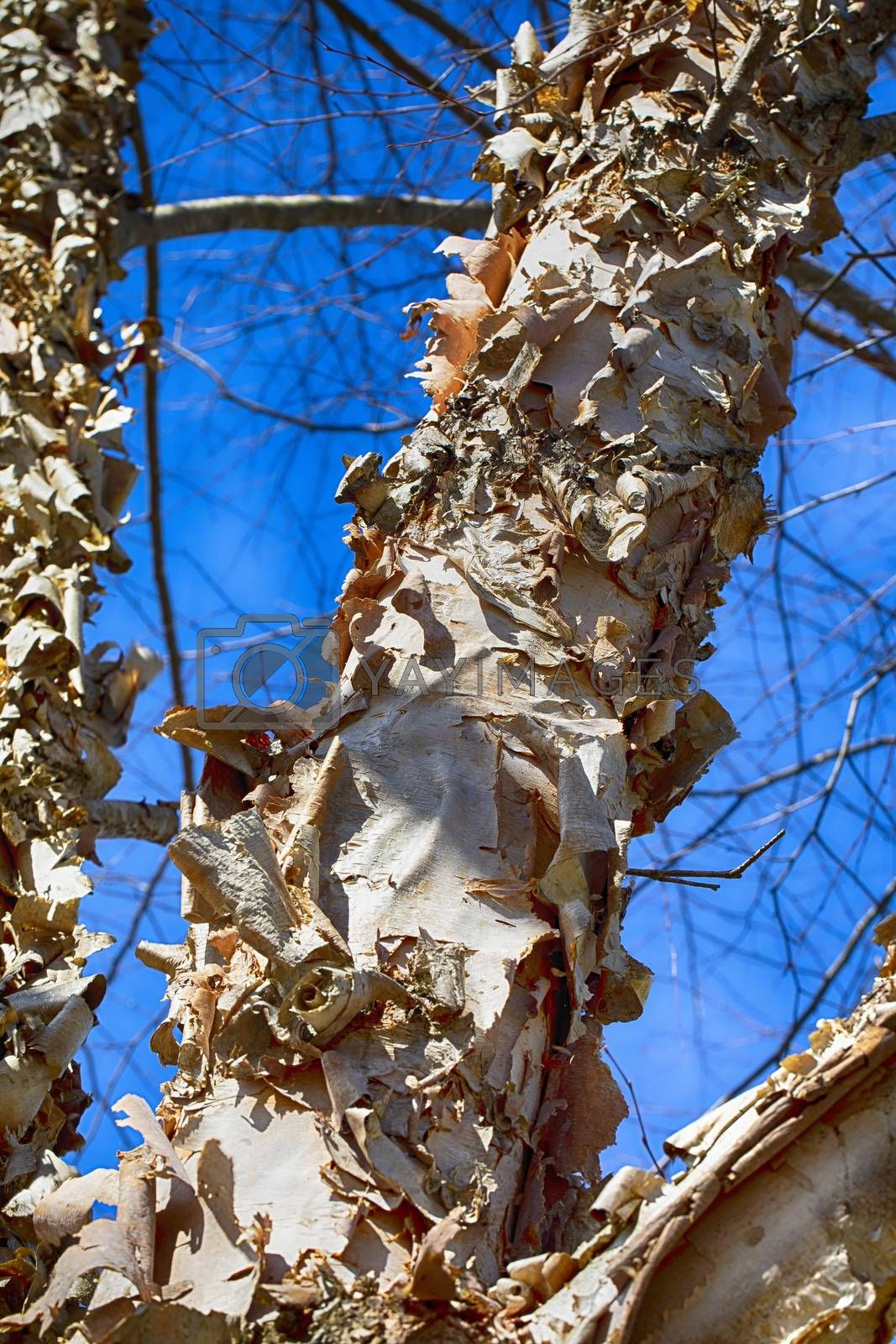 Paperbark Birch with Curling Bark by Charlie Floyd