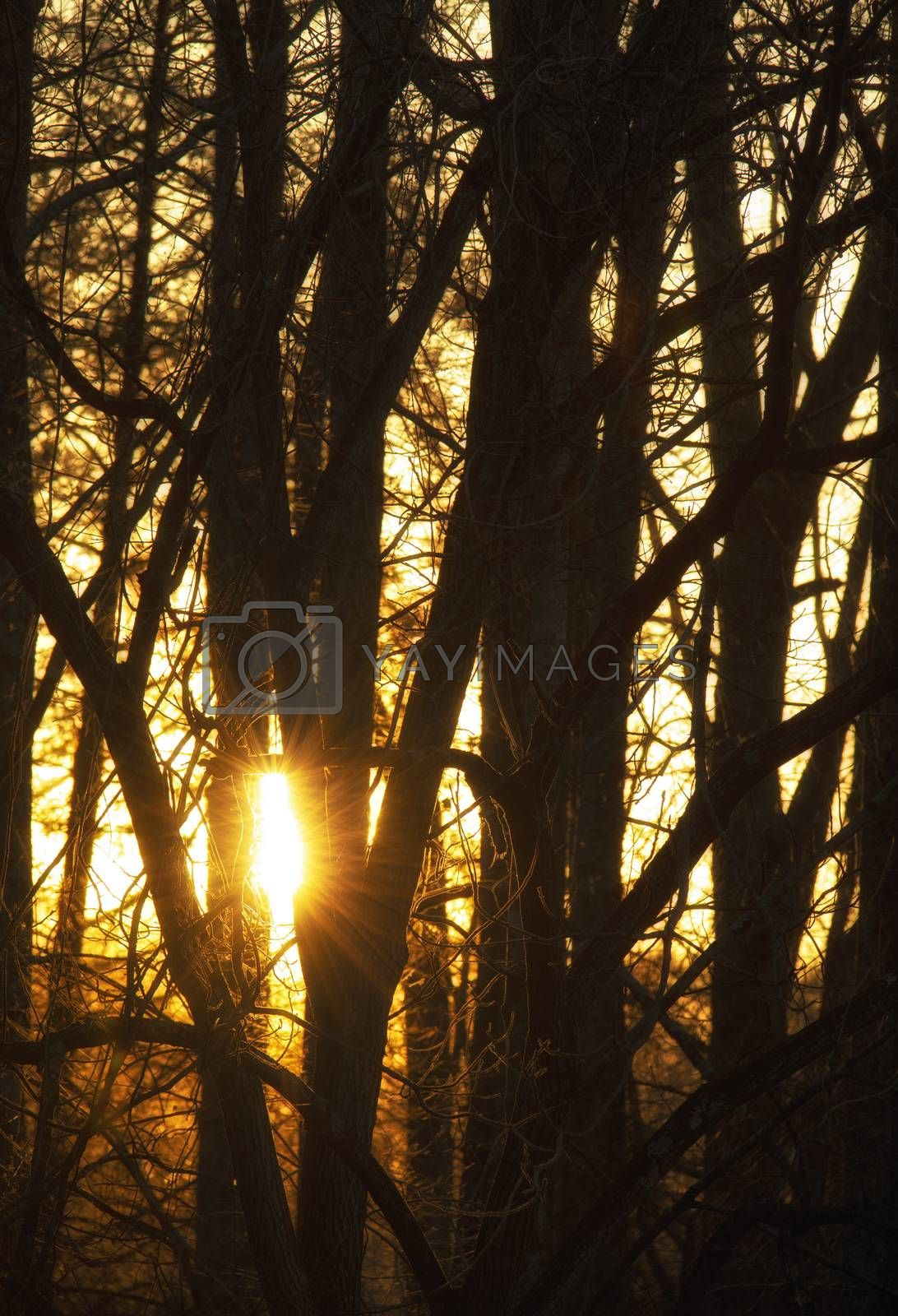 Sunset Through the Trees by Charlie Floyd
