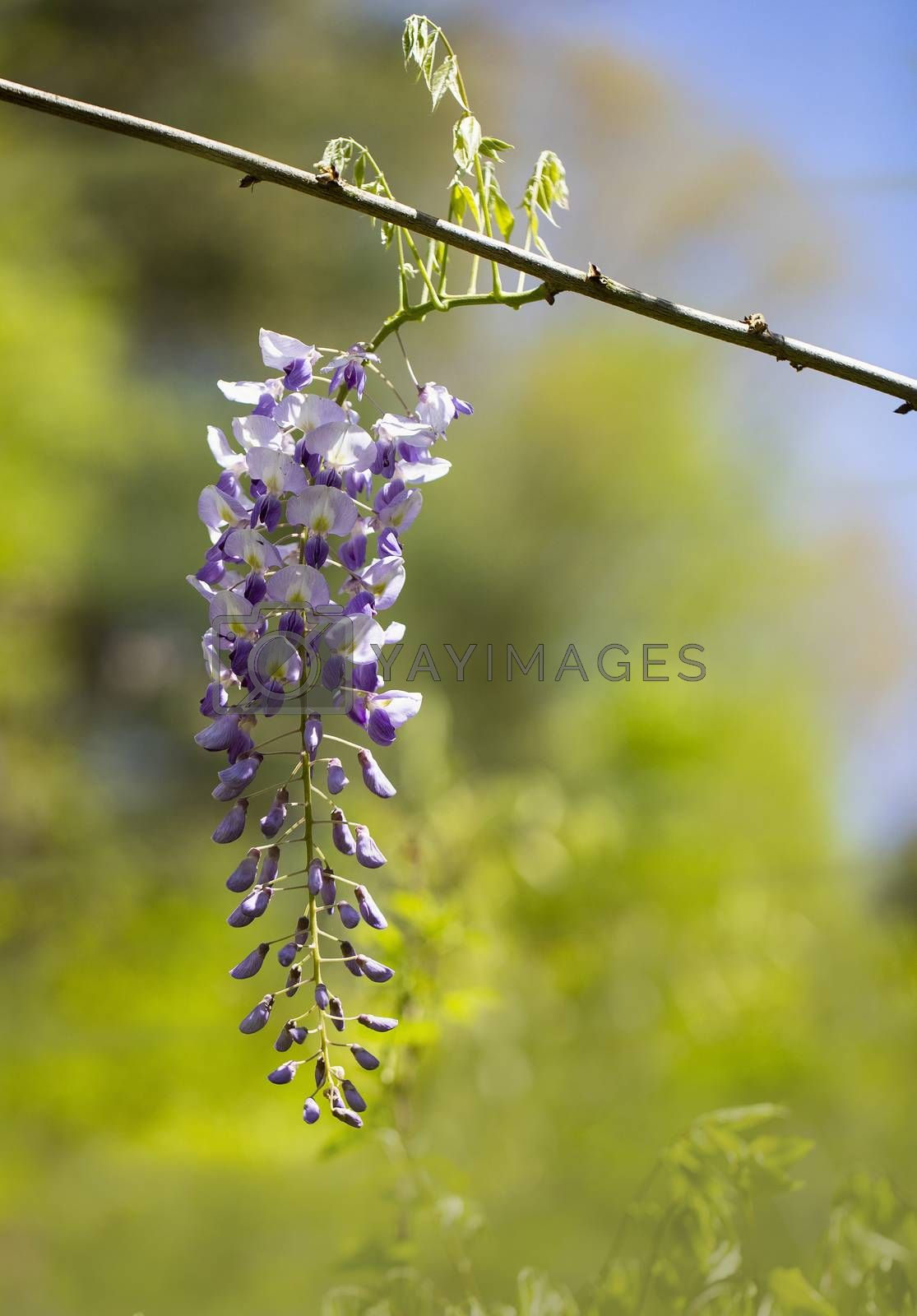 Purple Wisteria Raceme in Sunshine by Charlie Floyd