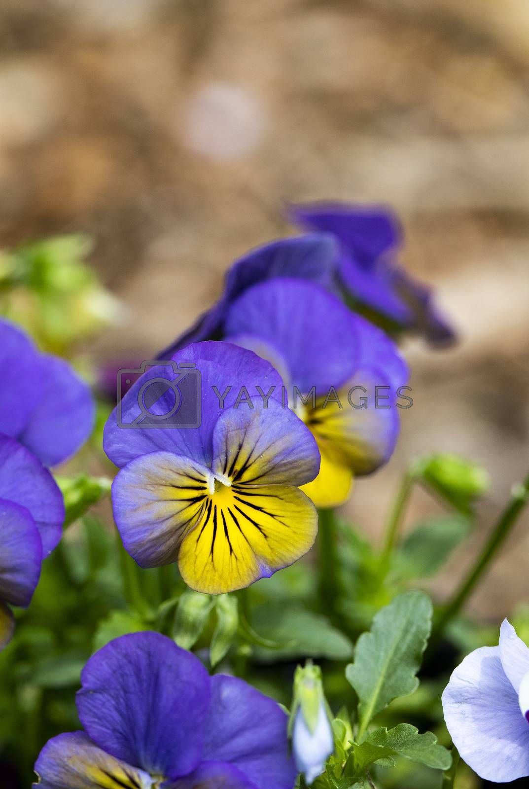 Purple and Yellow Pansies by Charlie Floyd