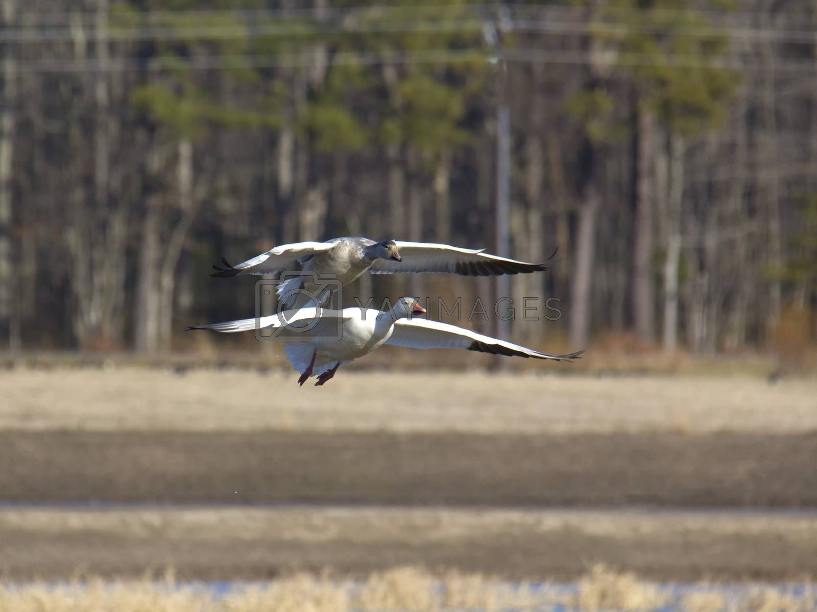 Two geese gliding to landing by Charlie Floyd
