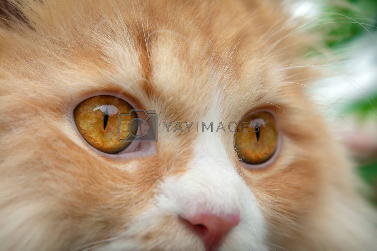 Fully Dilated Eye Pupil on an Orange Persian Cat. by cseika