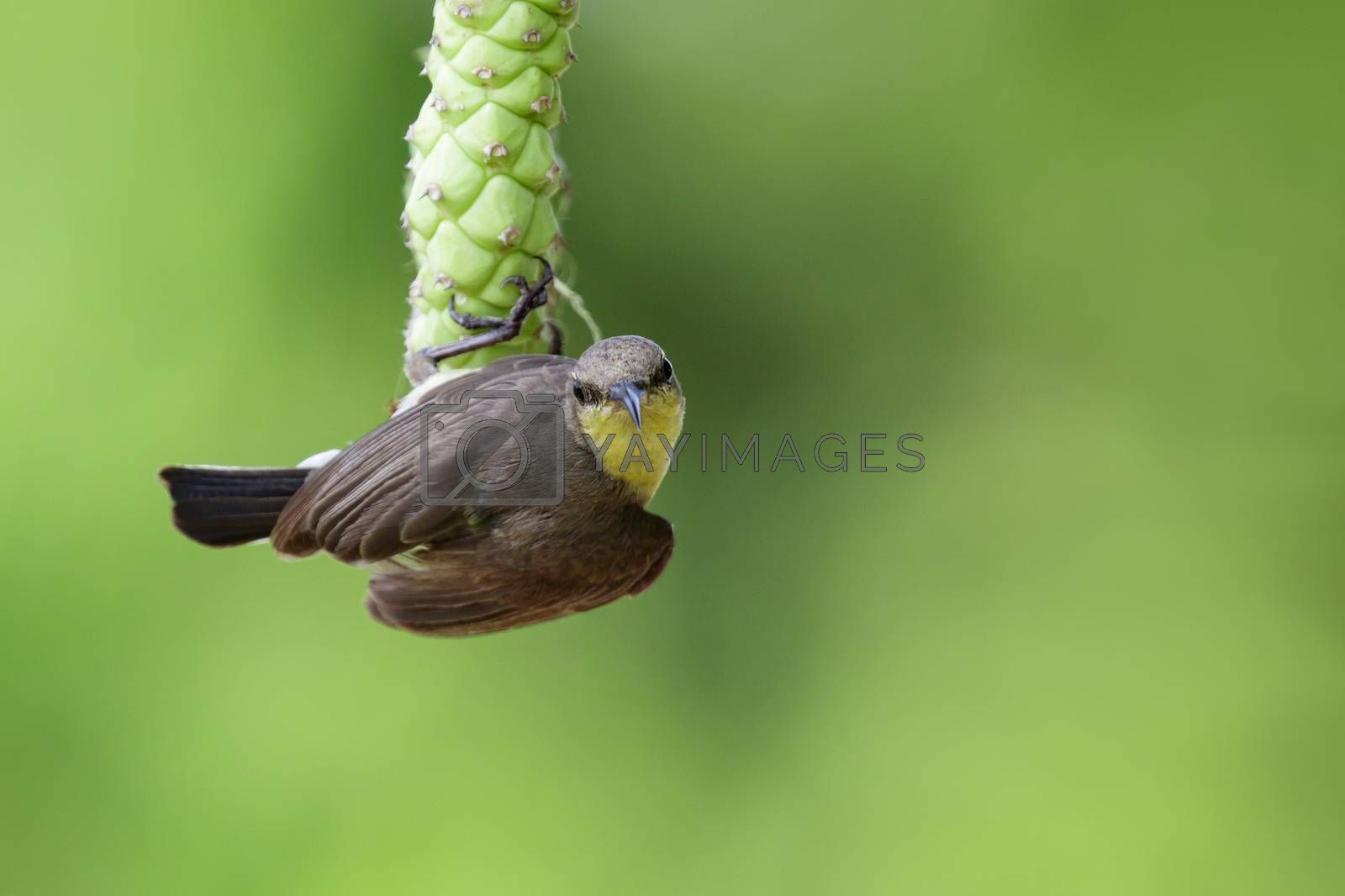 Image of purple sunbird(Female) on a branch on nature background by yod67