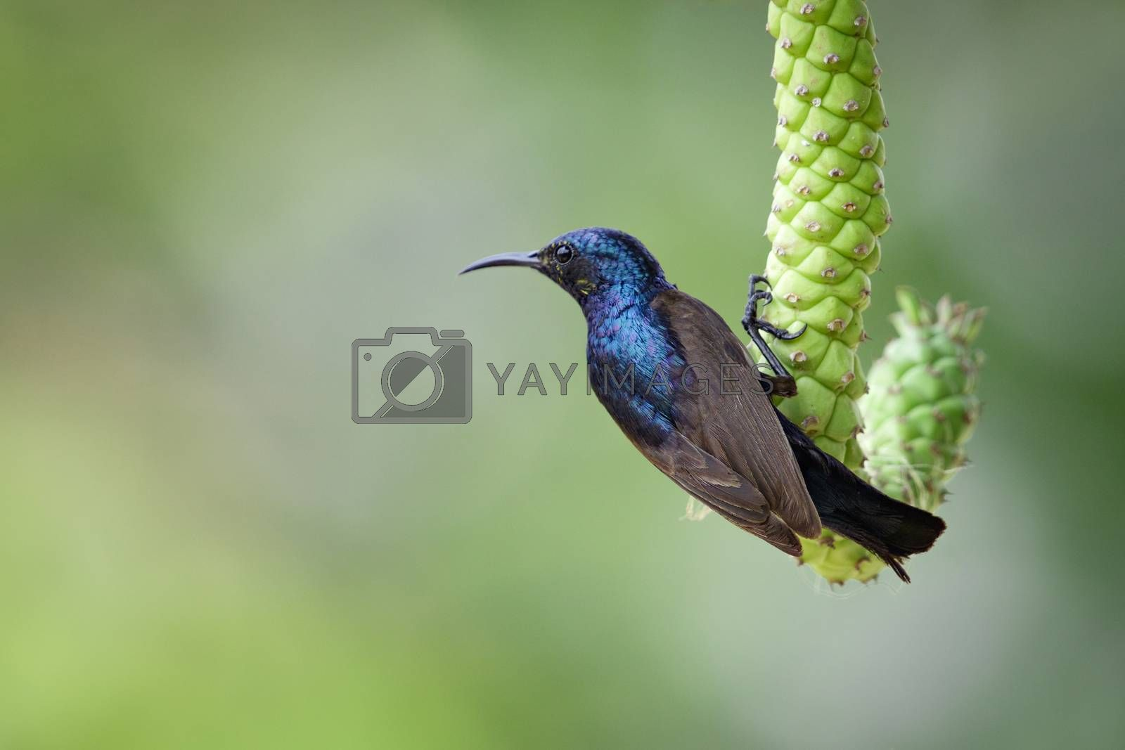 Image of purple sunbird(Male) on a branch on nature background.  by yod67